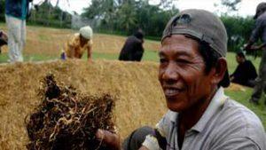 Risiko Kanker yang Mengintai Para Petani Tembakau