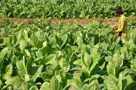 Industri Tembakau Sumbang Pendapatan Negara Rp148 Triliun