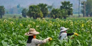 Kalangan Asosiasi Petani : Kenaikan Harga Rokok Karena Pesanan Asing